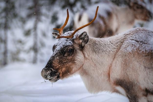 Nahaufnahmeaufnahme eines schönen hirsches auf dem schneebedeckten boden im wald im winter