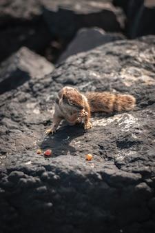 Nahaufnahmeaufnahme eines schönen niedlichen eichhörnchens, das mais auf einem felsen isst