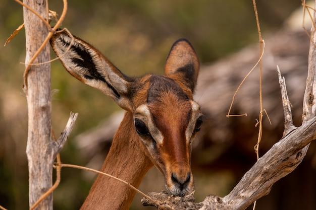 Nahaufnahmeaufnahme eines schönen rehs unter den bäumen, die in kenia, nairobi, samburu gefangen genommen werden