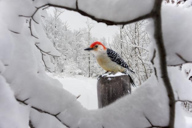 Nahaufnahmeaufnahme eines schönen stieglitzes hinter dem schneebedeckten zweig im winter