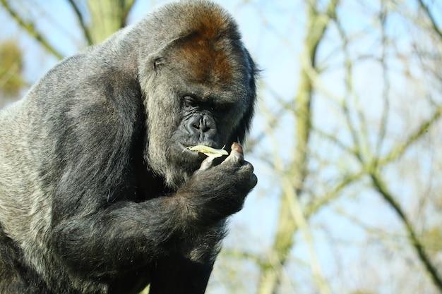 Nahaufnahmeaufnahme eines schwarzen gorillas, der essen isst, das von bäumen umgeben ist
