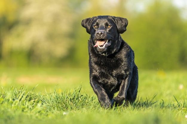 Nahaufnahmeaufnahme eines schwarzen labradors, der im gras spielt, das durch grün umgeben ist