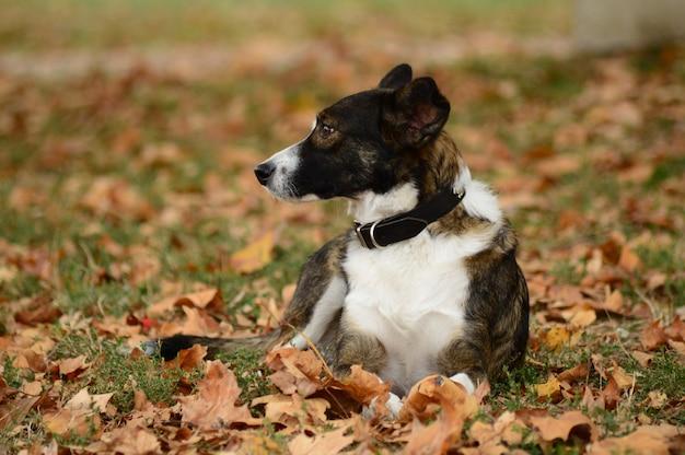 Nahaufnahmeaufnahme eines schwarzweiss-hundes, der unter trockenen blättern sitzt