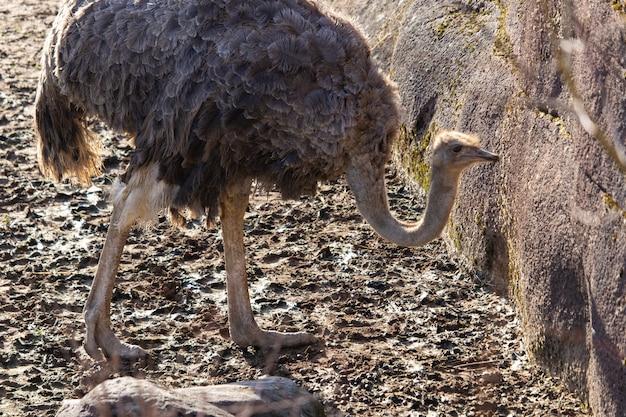 Nahaufnahmeaufnahme eines straußes, der um seinen stift in einem zoo erforscht
