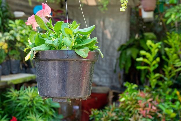 Nahaufnahmeaufnahme eines topfes mit den grünen blättern einer schönen rosa blume, die im blumenladen gehängt wird