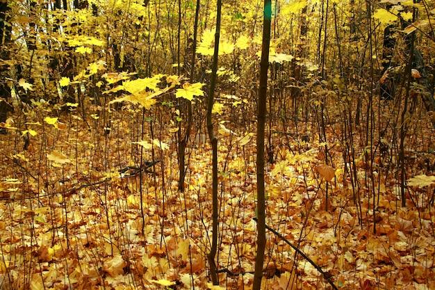 Nahaufnahmeaufnahme eines waldes mit kahlen bäumen und dem gelben herbstlaub auf dem boden
