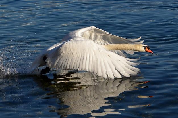 Nahaufnahmeaufnahme eines weißen schwans, der im see mit erhöhten flügeln schwimmt