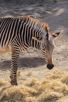 Nahaufnahmeaufnahme eines zebras, das heu mit einer schönen anzeige seiner streifen isst