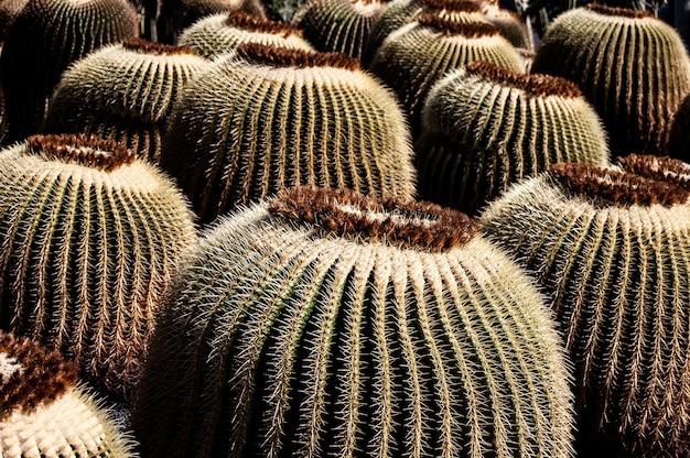Nahaufnahmeaufnahme vieler kakteen unter dem sonnenlicht in lanzarote, spanien