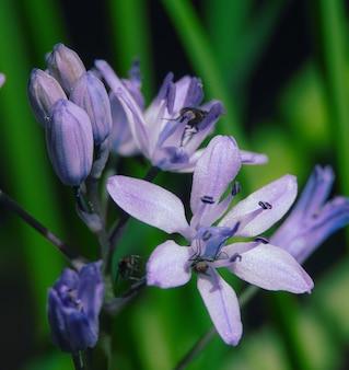 Nahaufnahmeaufnahme von blooming scylla auf grüner natur