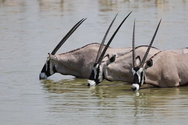 Nahaufnahmeaufnahme von drei gemsboks, die in einem wasserloch trinken