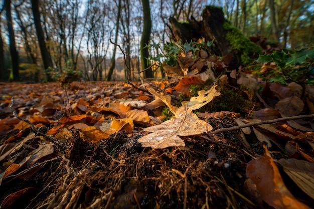 Nahaufnahmeaufnahme von gefallenen eichenblättern auf dem waldboden während des herbstes