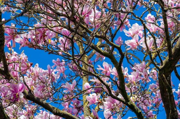 Nahaufnahmeaufnahme von kirschblütenbäumen unter einem klaren blauen himmel