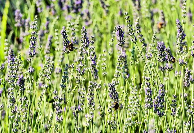 Nahaufnahmeaufnahme von lavendeln, die im feld mit einem unscharfen hintergrund wachsen