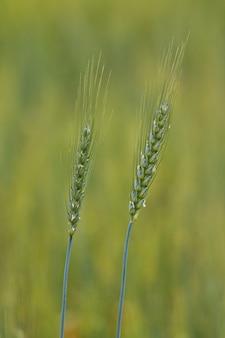 Nahaufnahmeaufnahme von triticale-pflanzen mit unscharfem hintergrund