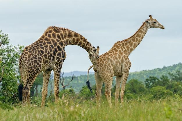 Nahaufnahmeaufnahme von zwei giraffen, die während des tages in einem grünen feld gehen