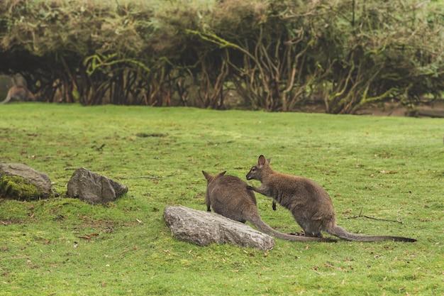 Nahaufnahmeaufnahme von zwei kängurus, die durch einen felsen in einem feld spielen
