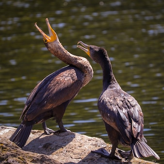 Nahaufnahmeaufnahme von zwei kormoranen mit zwei hauben an einem sonnigen tag