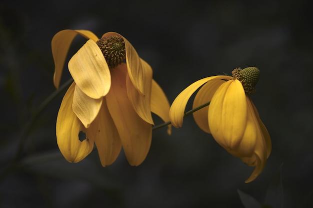 Nahaufnahmeaufnahme von zwei schönen gelben blumen mit einem unscharfen hintergrund
