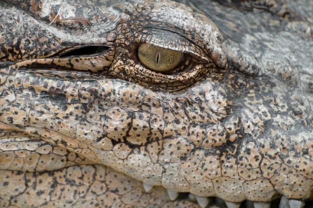 Nahaufnahmeauge eines krokodils.