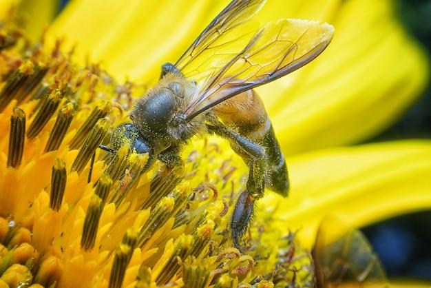 Nahaufnahmebiene, die für bonbon in der sonnenblume findet