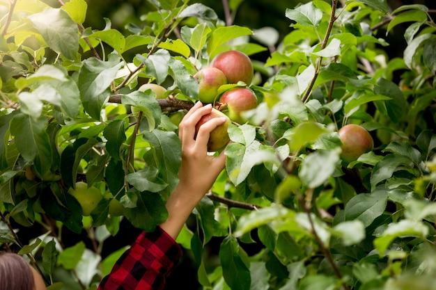 Nahaufnahmebild der weiblichen hand, die an einem sonnigen tag äpfel von den bäumen pflücken