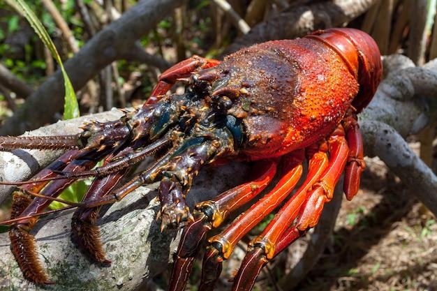 Nahaufnahmebild des großen felsenhummers, der auf dem trockenen baumast des tropischen baums köstlich sitzt