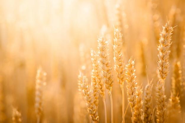 Nahaufnahmebild des reifen goldenen weizens unter hellem abendlicht auf dem gebiet
