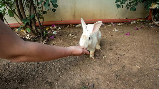 Nahaufnahmebild des süßen weißen kaninchens, das von der hand der frau auf dem bauernhof isst