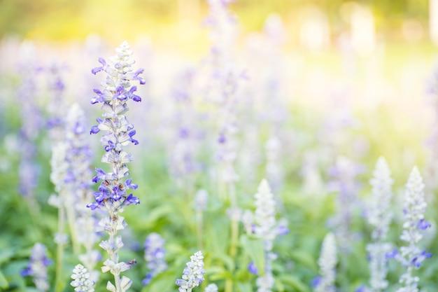 Nahaufnahmebild des violetten lavendels blüht auf dem gebiet am sonnigen tag