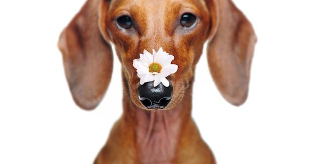 Nahaufnahmebild eines dachshunds mit einer gänseblümchenblume auf der nase