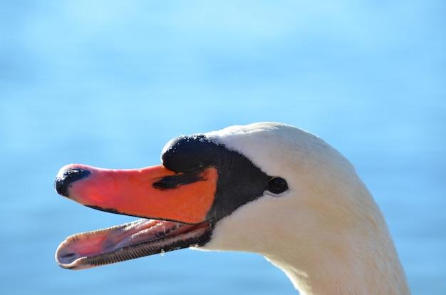 Nahaufnahmebild eines weißen schwans auf blau