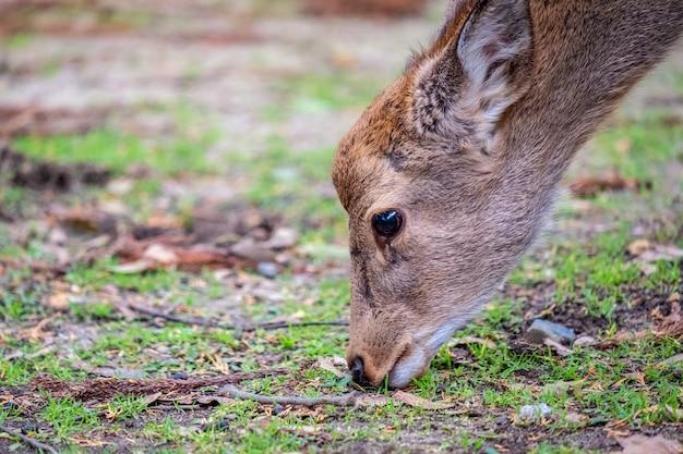 Nahaufnahmebild eines wilden hirsches, der gras im park isst