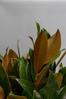 Nahaufnahmebouquet von frischen grünen und braunen magnolienblättern