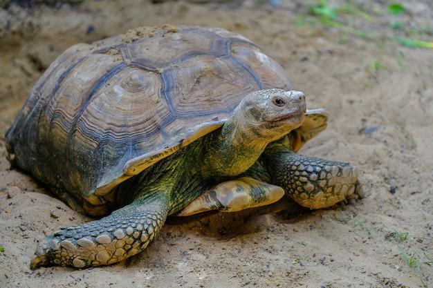 Nahaufnahmedetail einer spornschildkröte (centrochelys sulcata) speisend auf gemüse in einem meta