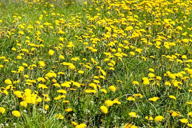 Nahaufnahmefeld des grünen grases und des blühenden gelben blumenlöwenzahns im frühjahr, wildnis