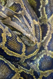 Nahaufnahmefoto der birmanischen python