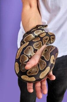 Nahaufnahmefoto der schönen schlange in den händen des menschen, exotische heimtiere in den händen der menschen, trainiert.