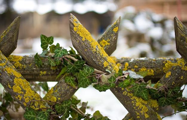 Nahaufnahmefoto des alten holzzauns, der mit efeu und moos gewachsen ist