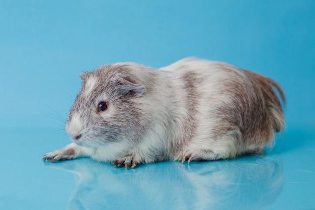 Nahaufnahmefoto des amerikanischen meerschweinchens auf blauem hintergrund premium photo