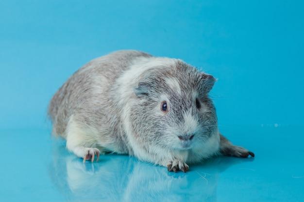 Nahaufnahmefoto des amerikanischen meerschweinchens auf blauem hintergrund