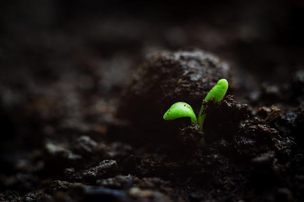 Nahaufnahmefoto des zerbrechlichen kleinen microgreen sämlings, der im organischen boden, allererste blätter der anlage wächst. vitalitätsfrühlings-konzeptkarte mit copyspace.
