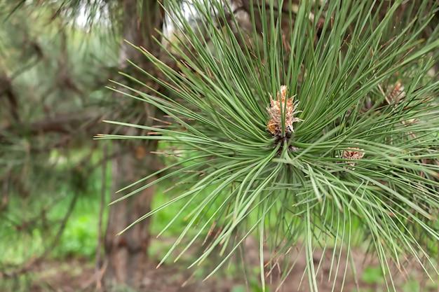 Nahaufnahmefoto einer grünen kiefernnadeln