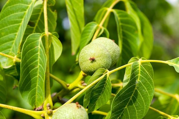 Nahaufnahmefoto einer grünen walnussfrucht