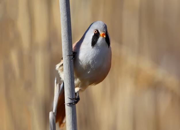 Nahaufnahmefoto einer männlichen bartmeise in vertikaler ausrichtung. vogel
