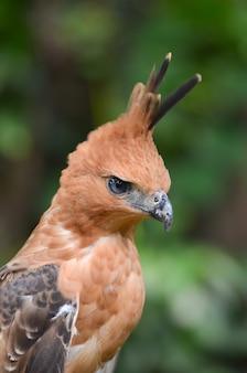 Nahaufnahmefoto eines javanischen falkenadlers, nisaetus bartelsi