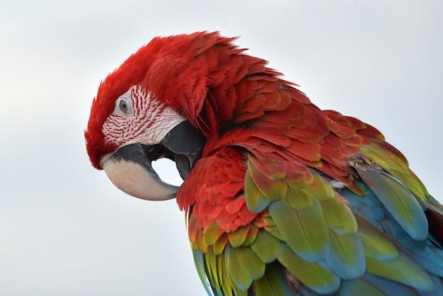Nahaufnahmefoto von ara papageien