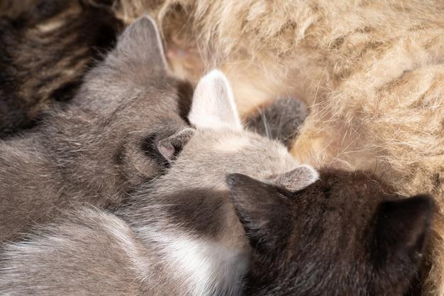 Nahaufnahmefoto von kleinen kätzchen, die milch von der mutterkatze trinken. kleine katzen und ihre mutter