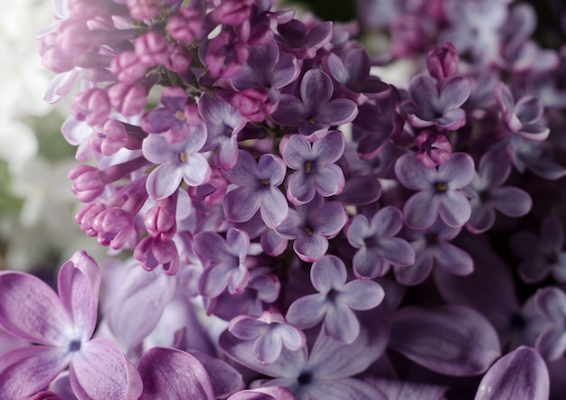 Nahaufnahmefoto von schönen lila blumen. lila frühlingsblumen.