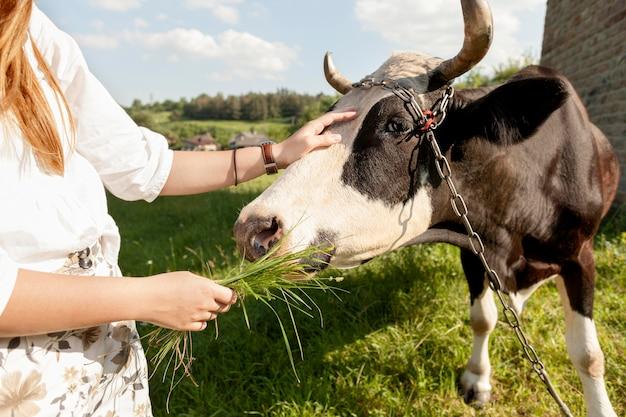 Nahaufnahmefrau, die kuh füttert